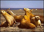 Sea Lions in Peninsula Valdes, Chubut