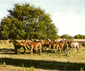 Raising cattle in the pampas